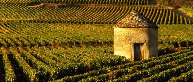 Le vignoble de Cognac.