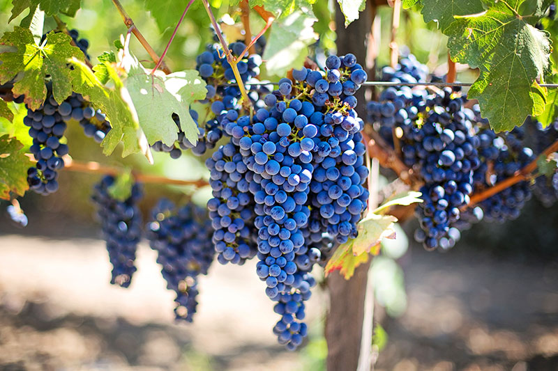 purple-grapes-553464