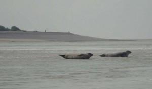 Les phoques de la baie de Somme (c) A.Lardy.