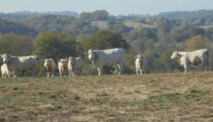 Paysage de Combrailles : troupeau de vaches blanches.